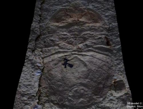 Skamenelina hmyzu: Sehirus carpathiensis z obdobia Paleogénu